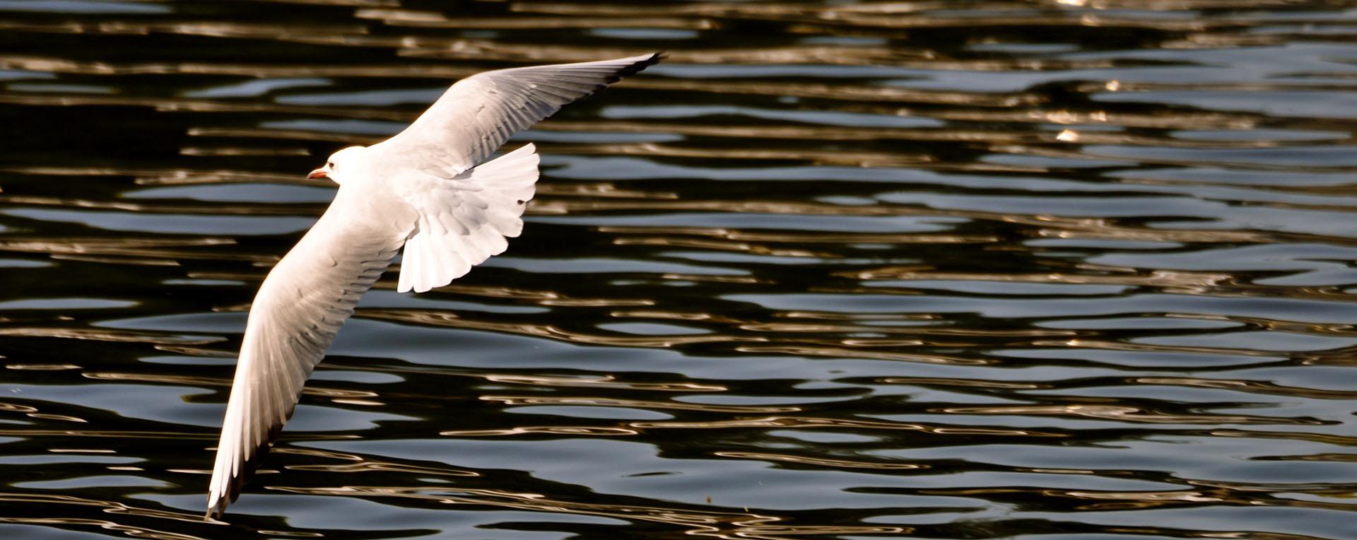 seagull flying over the river thames in kingston