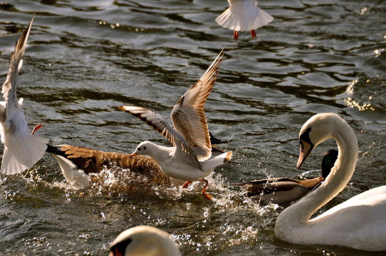 seaguls on the thames by kingston bridge