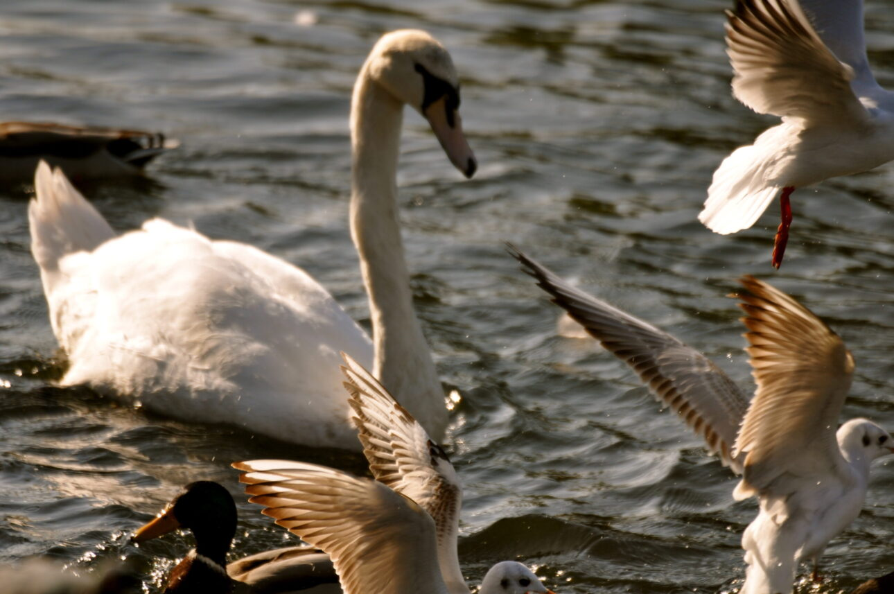 swan on the thames by kingston bridge